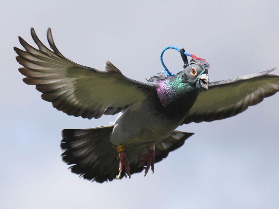produse pentru porumbei